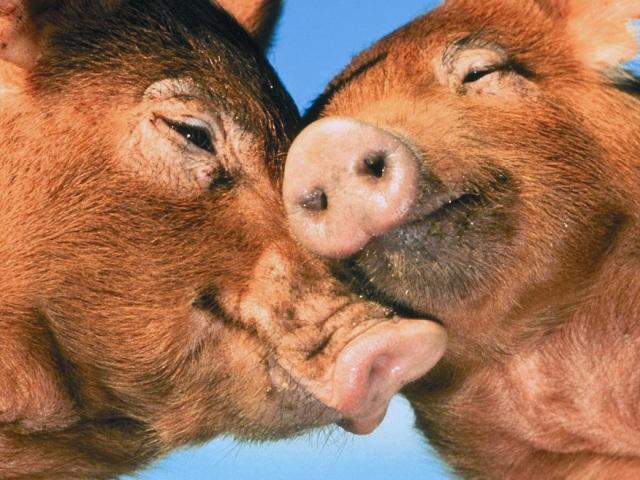 «Якоже бо свиния лежит в калу, тако и аз греху служу»