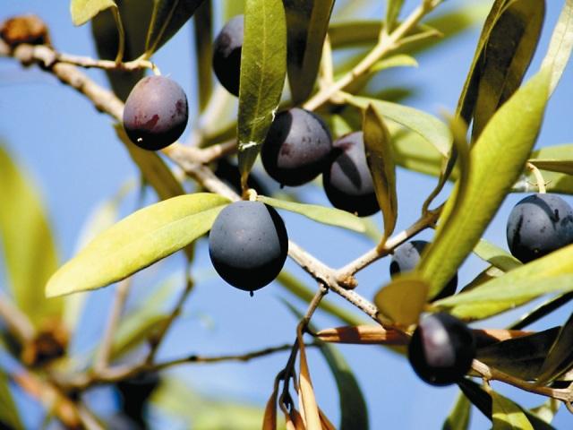 Икра из маслин