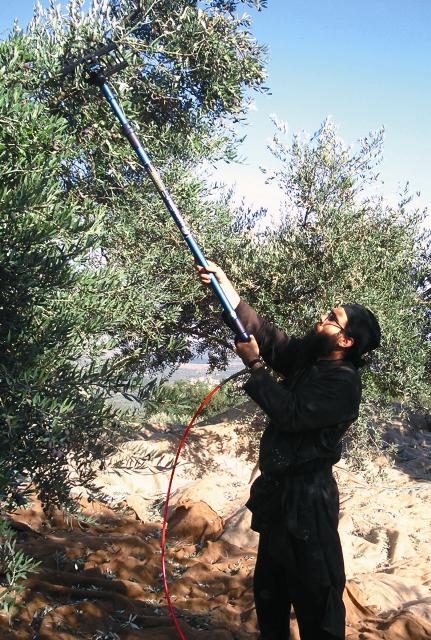 Сбор олив