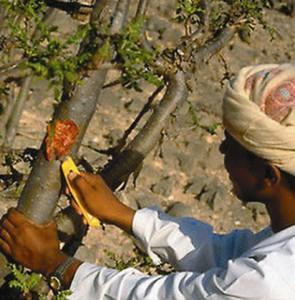 В феврале-марте на дереве делают надре- зы, из которых обильно вытекает древес- ный сок. На воздухе сок твердеет, после чего засохшую смолу собирают с дерева