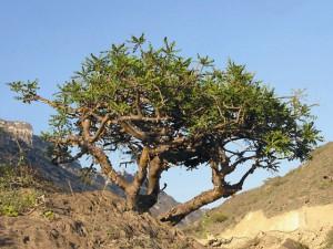 Ладанное дерево произрастает в Юго- Западной Аравии на сухих склонах гор в Сомали. Эта страна стала основным центром по заготовке ладана