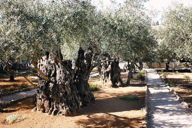 В Гефсиманском саду растет восемь древнейших олив