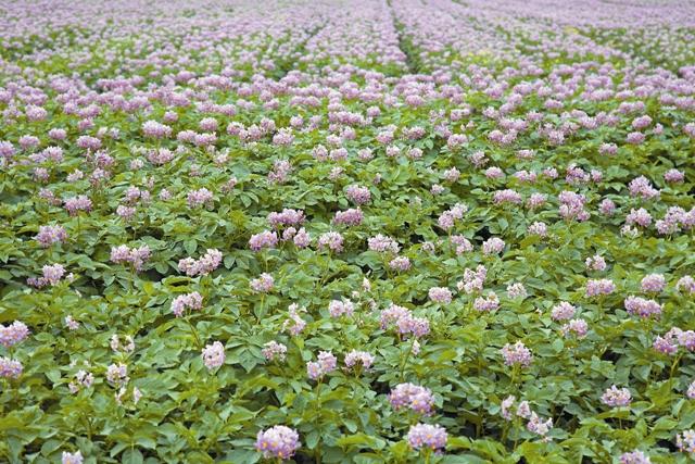 Сегодня картофель выращивают во всем мире, но были времена, когда правители принудительно внедряли этот универсальный продукт